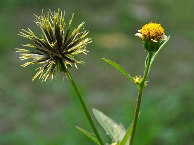 Flor de picão-preto