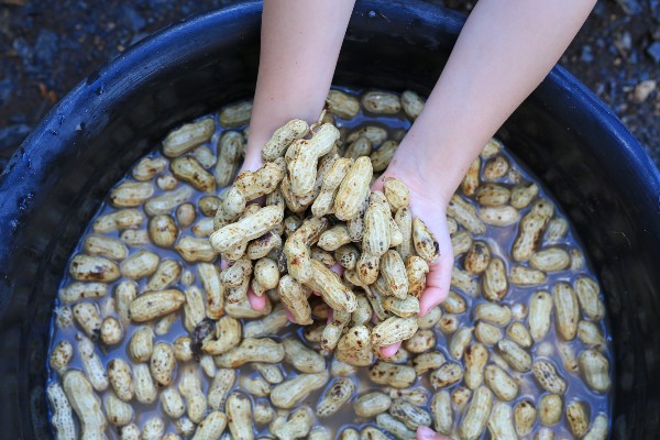 Colheita - Como plantar amendoim