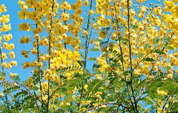 flores de unha-de-gato