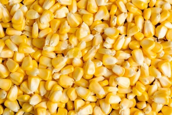 Grãos -  Como plantar milho