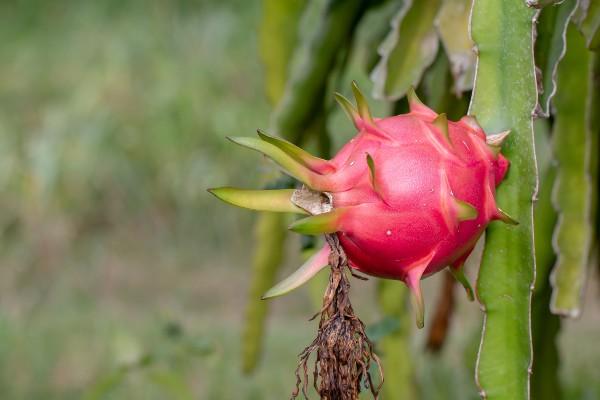 Cultivo - Como plantar pitaya