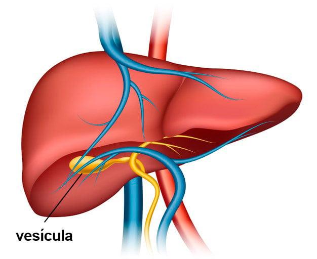 ilustração fígado e vesícula
